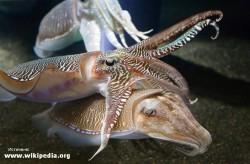 Восемь фактов о гигантской австралийской каракатице