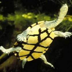 Гигантская змеиношейная черепаха