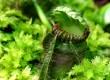 Цефалотус мешочковый